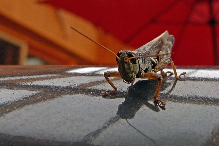 grasshopper-56497_960_720